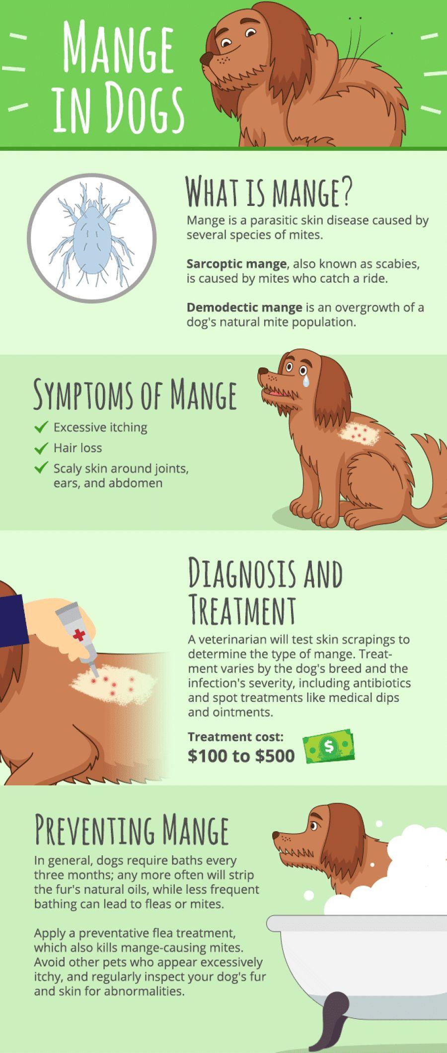 Mange sur les chiens: tout ce que vous devez savoir à ce sujet