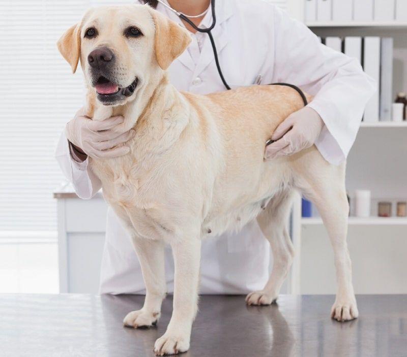 Mammite chez les chiens: post-partum affection de chiens femelles