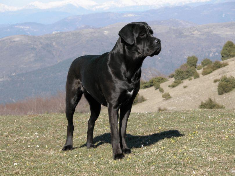 Meanest races de chiens: top 10 races avec une mauvaise réputation