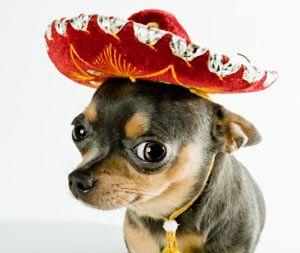 Rencontrez les chiens de mexique!