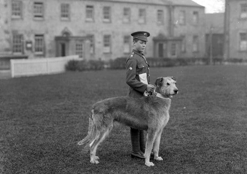 Terrier irlandais au service militaire