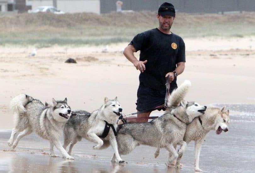 Huskies de Sibérie