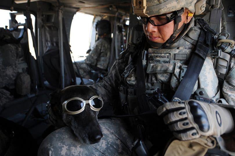 Greyhound au service militaire
