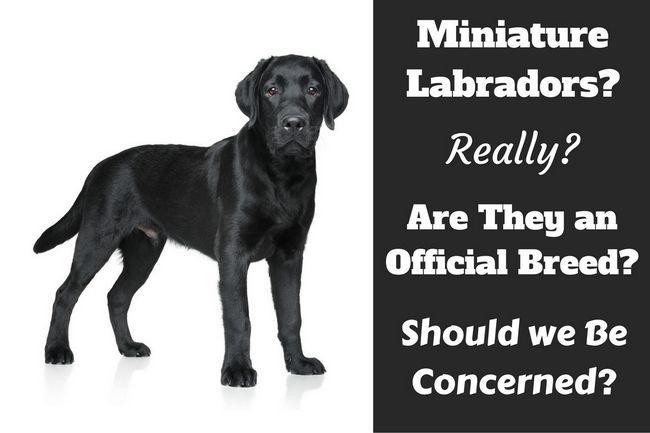 Miniature labrador? Existent-ils vraiment?