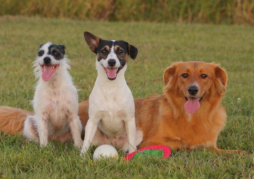 Mixtes chiens de race: intelligence et gentillesse en bref
