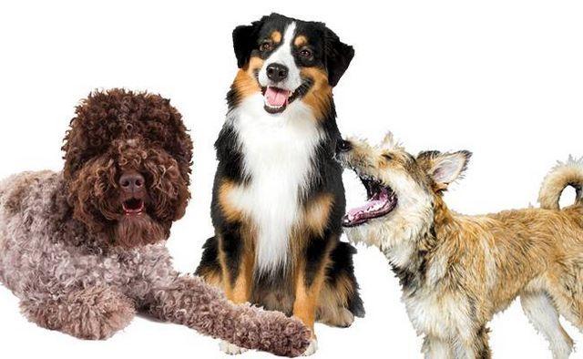 Plus à aimer! Akc accueille 3 nouvelles races de chiens dans le registre