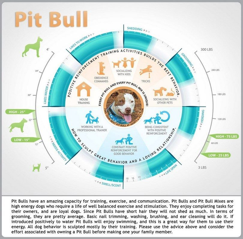 Pit Bull infographique