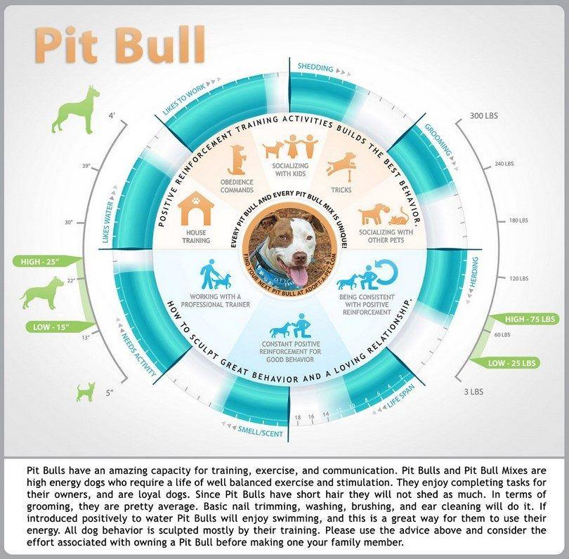 Pit Bull infographique