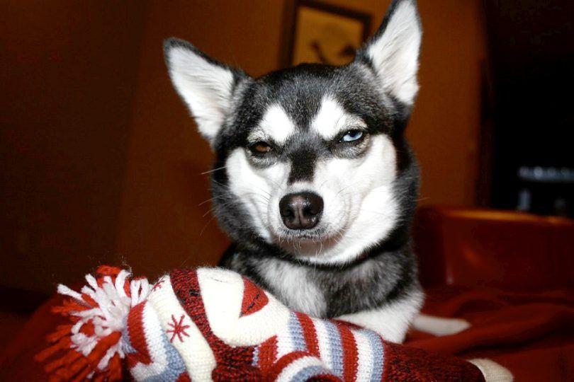 Mon chien a mangé une chaussette: aider votre chien à surmonter cette petite erreur
