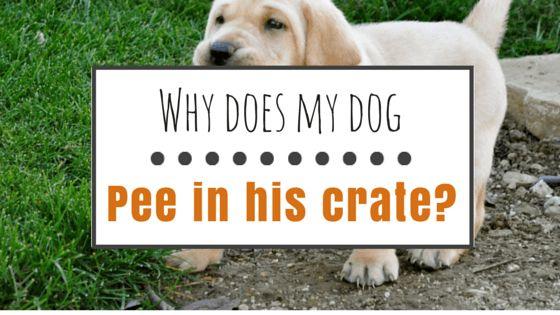 Mon chien fait pipi dans sa cage: que dois-je faire?