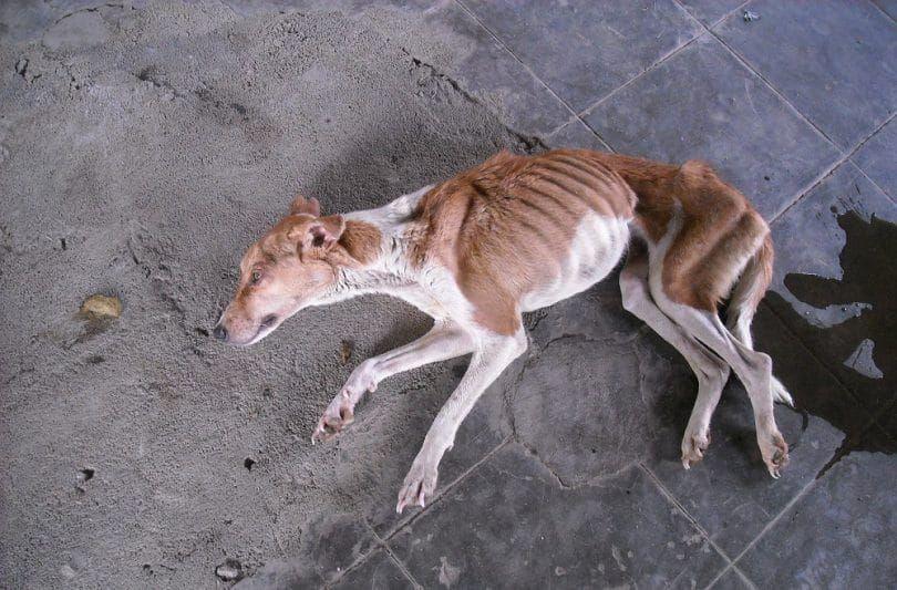 L`anorexie chez les chiens