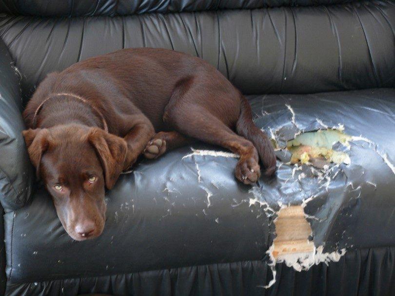 Bored chien