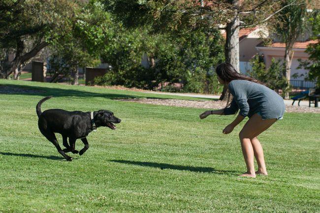 Femme appelant à son labrador avec une friandise dans un champ