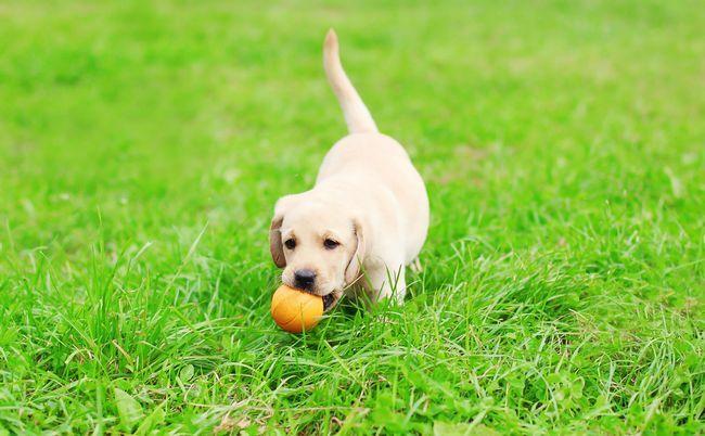 chiot Lab balle en jouant sur l`herbe luxuriante