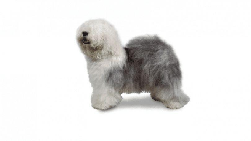 Vieux chien de berger anglais