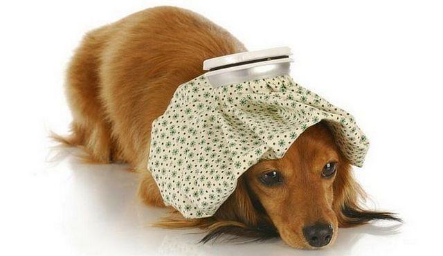 Aie! Que puis-je donner à mon chien pour la douleur?