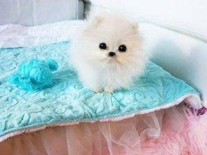 Le $ 13,000 Poméranie acheté par Paris Hilton via Betty`s Teacup Yorkies.
