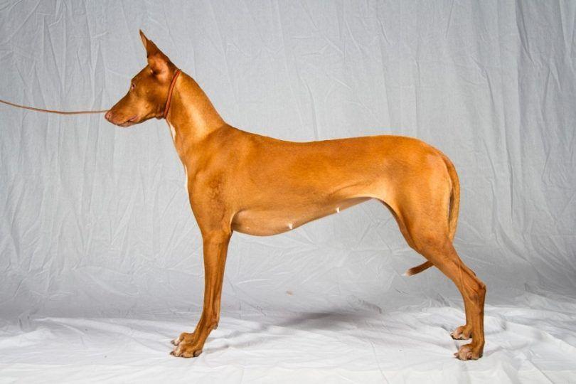 hound Pharaon