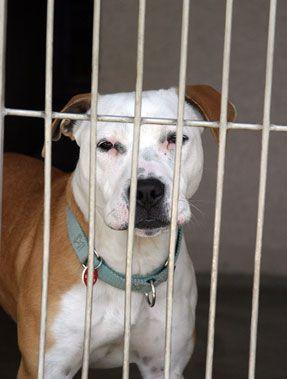 interdiction Pit bull sépare désactivé l`homme, le service chien
