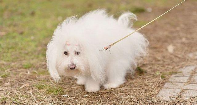 chien blanc aller aux toilettes