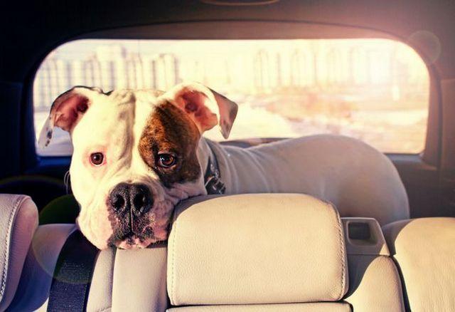 Protéger les chiens dans les voitures chaudes: quelle est la loi de votre état?