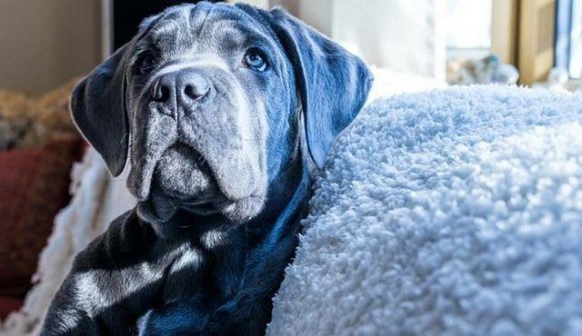 prix de Pup: combien coûte une canne à corso?