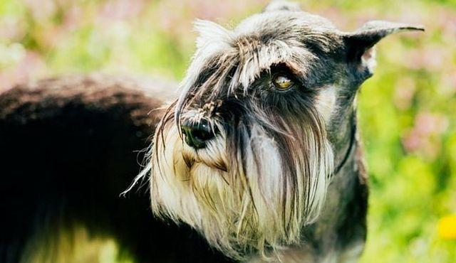 prix de Pup: combien coûte un schnauzer?