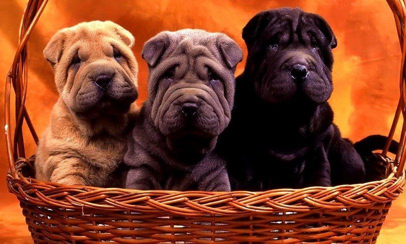 Questions à poser un éleveur de chiens: 14 questions pour connaître votre chiot avenir meilleur