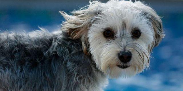 chiens Richmond prenant tours dans le nouveau programme de natation