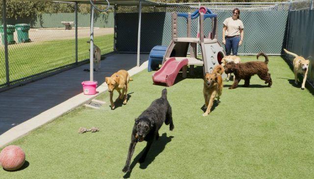 canine Runaway se joint à ses amis à la garderie doggy