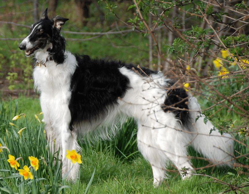 races de chiens russes: top races qui vous impressionneront