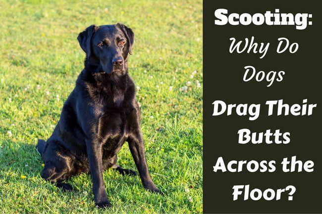 Scooting: pourquoi les chiens traînent leurs mégots sur le sol?