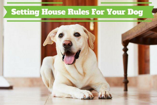 Règles de la maison pour les chiens - Un laboratoire Lab Jaune pose sur un plancher de couloir