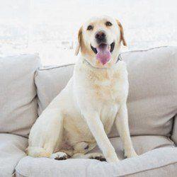 Un Labrador souriant sur le canapé