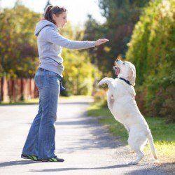Une dame formation de son labrador qui est sur leurs pattes de derrière