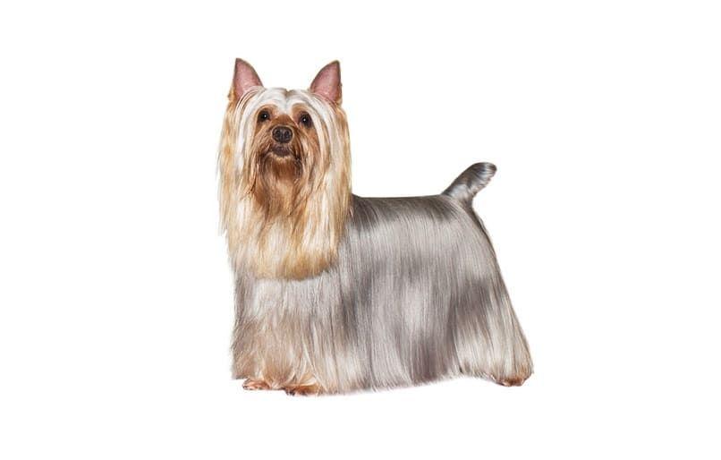 terrier Silky