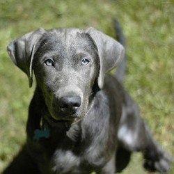 Argent Labrador Retriever: Un gros plan, regarder la caméra.