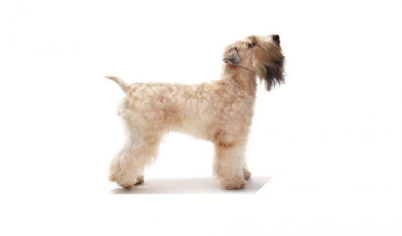 Doux enduit wheaten terrier