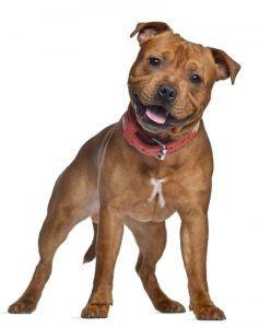 taureau Staffordshire profil de race terrier
