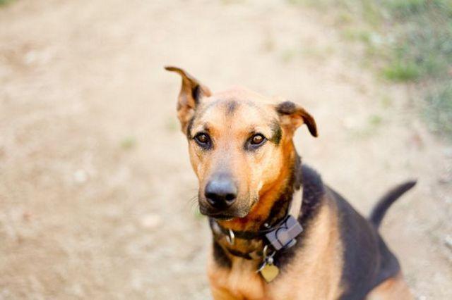 montre l`étude «des colliers de choc `un de risque pour le bien-être de comportement de chien