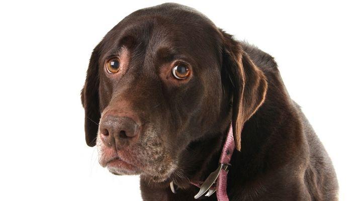dimanche Récapitulons: les maladies de santé mentale chez les chiens