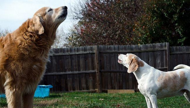 Pourquoi les chiens Howl et comment les amener à cesser