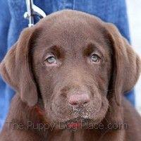 chocolat labrador retriever chiot Oakle