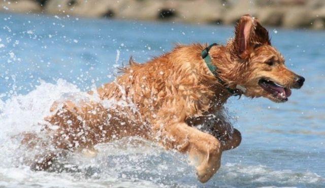 Natation choses: comment éliminer l`eau dans les oreilles des chiens
