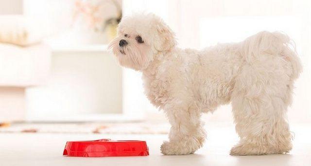 Petit chien blanc debout bol alimentaire