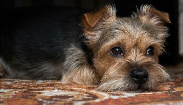 Conte de la bande: combien dangereux sont les ténias chez les chiens?