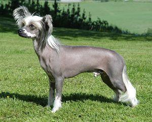 Les 10 races de chiens les plus insolites