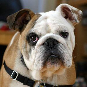 Les 5 races de chiens les plus chères