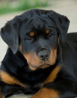 Les meilleurs noms de chien allemand