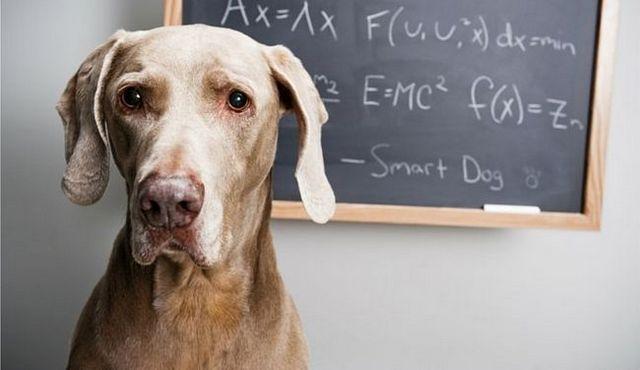 Le test de chien iq: jauge fiable, ou amusant maladroit?